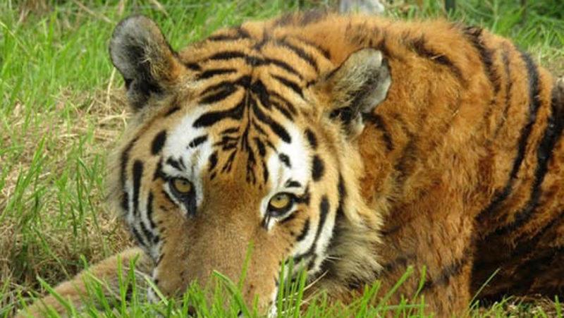 Un tigre mata a un empleado y a otro tigre en un parque zoológico de Sudáfrica