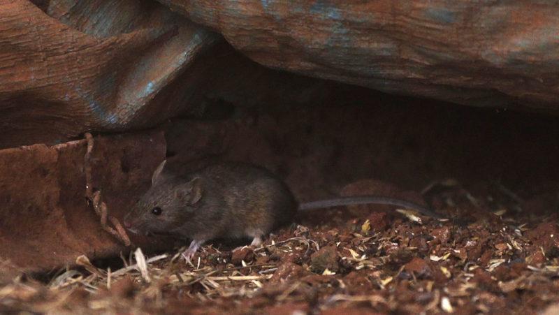 """""""La gente se ata las perneras del pantalón para que no se suban"""": Australia vive la peor plaga de ratones en más de una década"""
