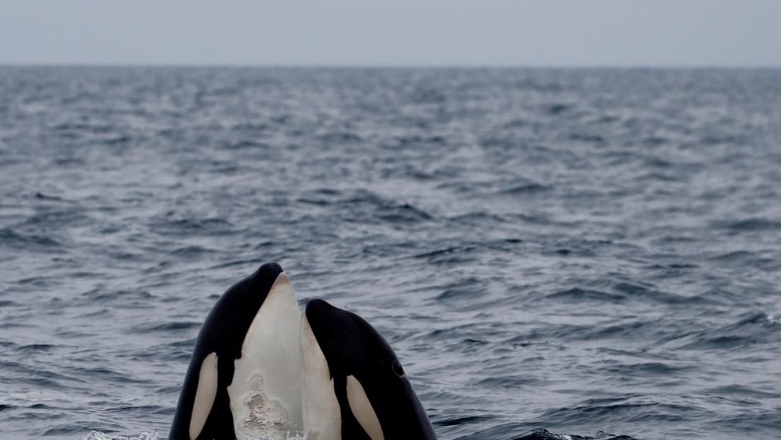 Estudio realizado con drones revela que las orcas también tienen 'mejores amigas'