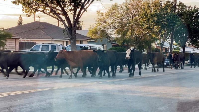 Rebelión en  Los Ángeles: vacas decididas a sobrevivir emprenden una fuga masiva del matadero (VIDEOS)