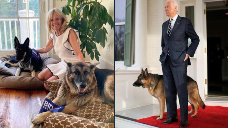 Joe Biden's dogs debut on Twitter and accumulate 80,000 followers in one day