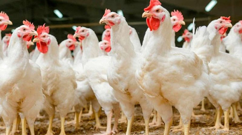 Pandemic effect on chicken: exports fell more than 20%, production 4.5%, and consumption per person 3.1%