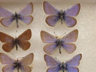 Confirman que la icónica mariposa azul de Xerces fue el primer insecto extinguido por los humanos en EE.UU.