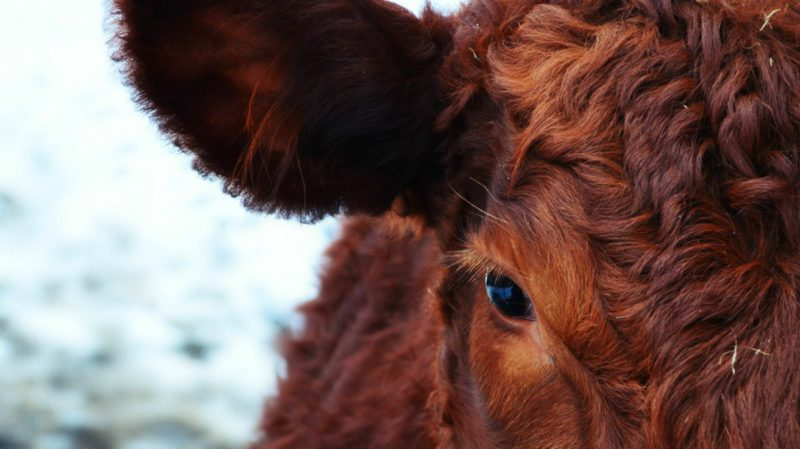 """How cow stomachs could """"eat"""" plastic"""