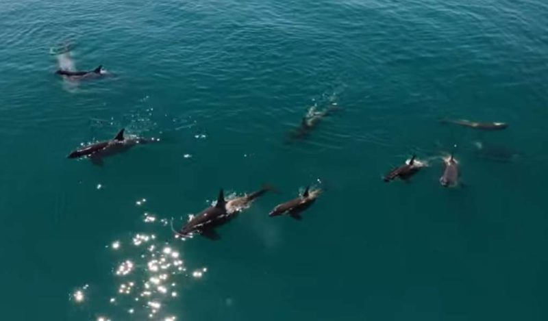 They record the spectacular moment when a family of killer whales goes hunting