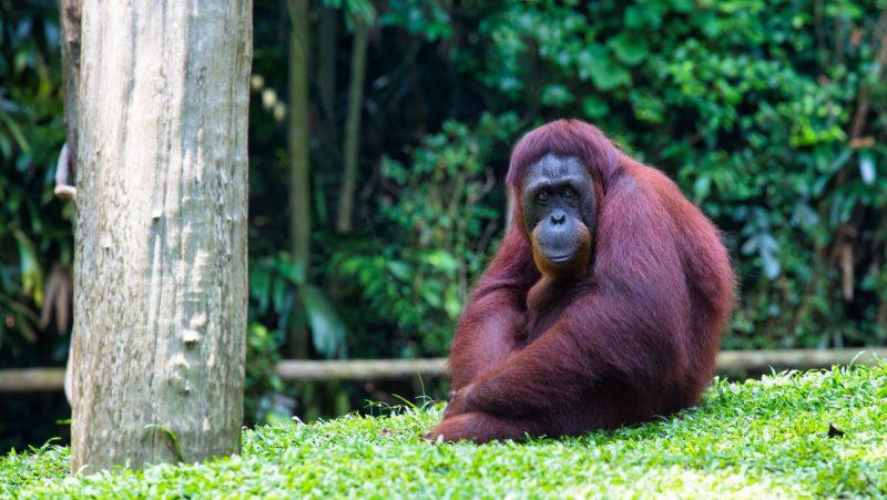 VIDEO: Orangután se prueba y modela unas gafas de sol en un zoológico de Indonesia