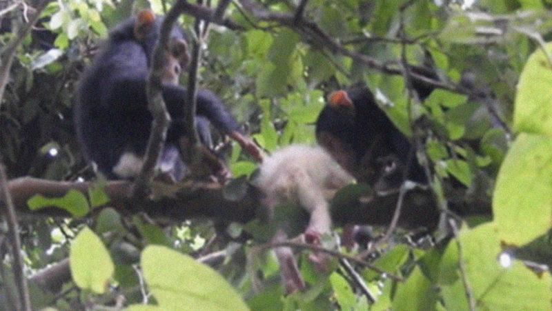 Avistan por primera vez a una cría albina  de chimpancé en naturaleza y a las pocas semanas de vida es asesinada brutalmente por su propio grupo
