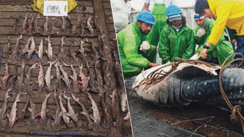 Revelan que los tiburones encontrados en el pesquero chino capturado en Galápagos en 2017 correspondían a especies amenazadas