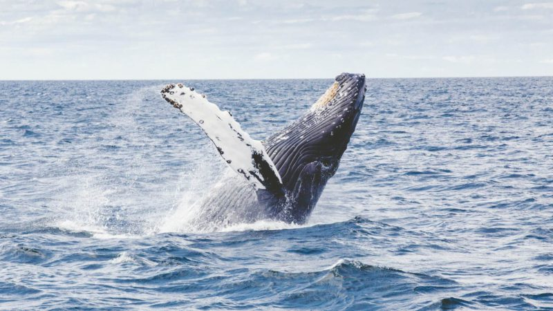 A humpback whale gobbles up a diver and spits him out alive