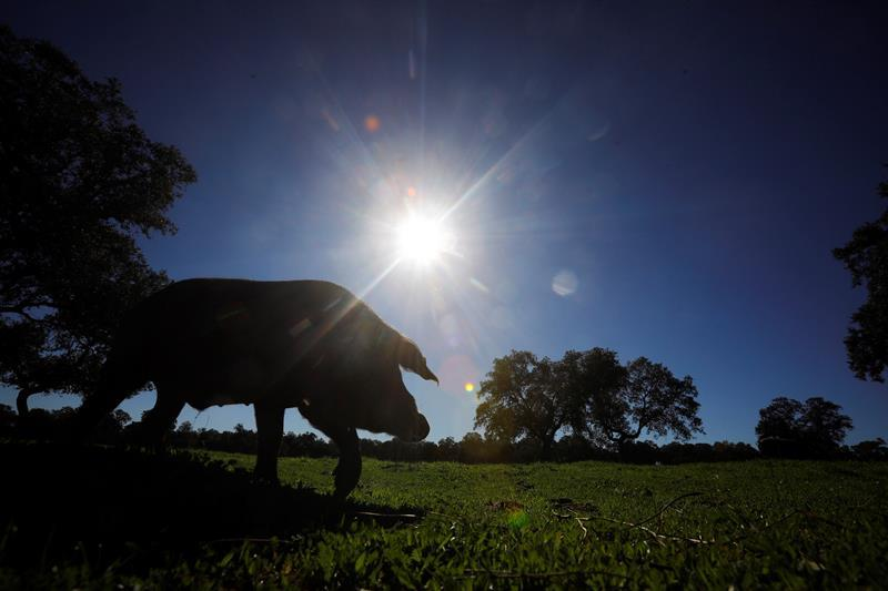 FAO alerts the countries of America to the African swine fever in the Dominican Republic