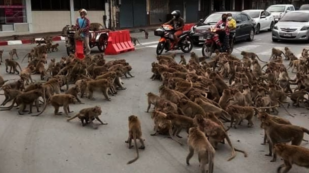 Two bands of monkeys fought over a banana in the middle of the street and the video went viral