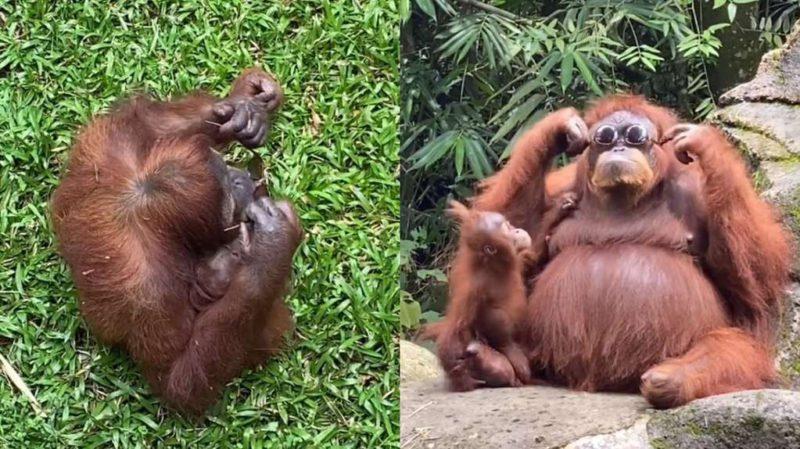 Video of an orangutan wearing a tourist's sunglasses became a rage on TikTok