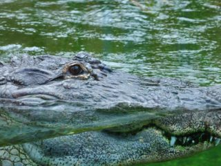 VIDEOS, FOTOS: Una mujer se defiende de un aligátor, empujándolo con un remo, mientras navega en su tabla