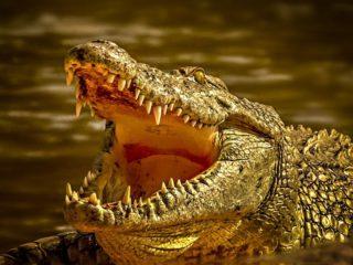 Capturan a un enorme caimán con restos humanos en su estómago, sospechoso de matar a un hombre durante las inundaciones provocadas por el huracán Ida