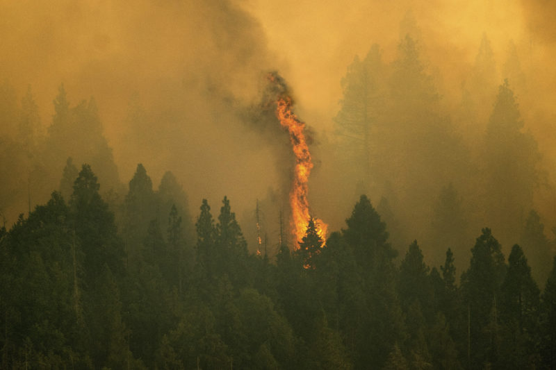 Fire from wildfires threatens California's ancient redwoods