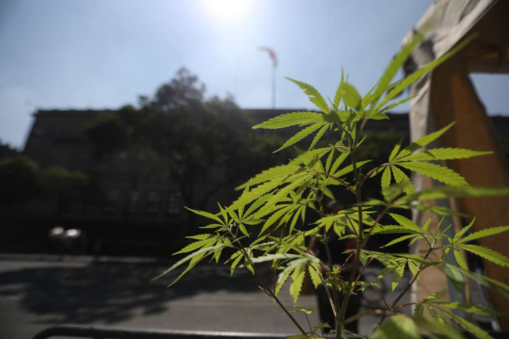 In Brazil, they are going to test a derivative of marijuana to treat long-term covid