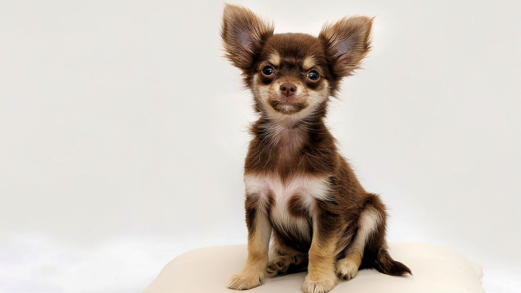 Pets: 3 small dog breeds that don't grow
