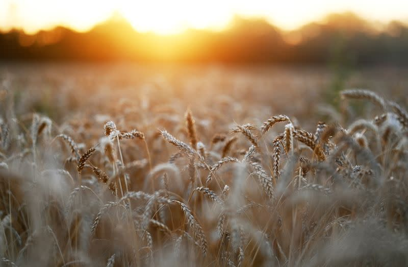 Russia to plant less winter wheat for 2022 harvest: analysts
