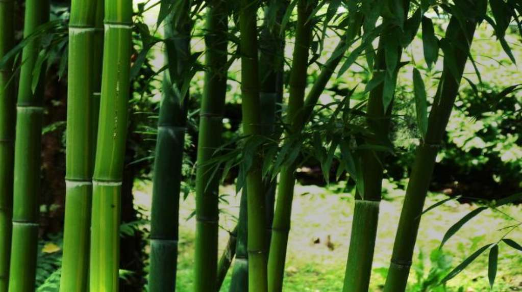 World bamboo day, the plant of a thousand uses