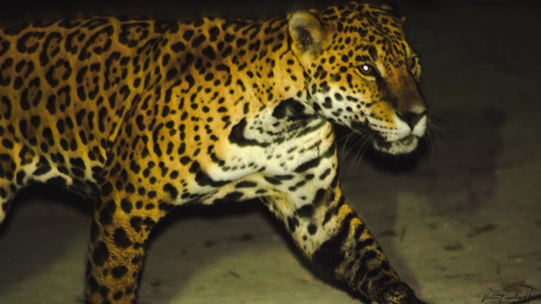 Sed de venganza por sus mascotas: jaguares en peligro de extinción corren riesgo en un pueblo pesquero de México