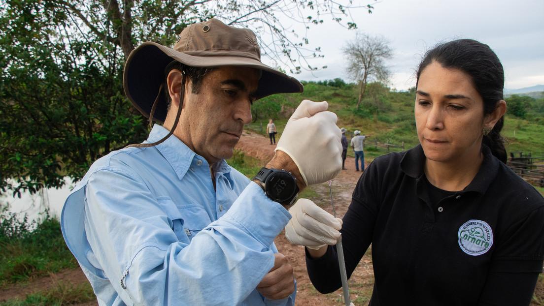 Inicia con éxito en Colombia un plan experimental de inmunocastración de los hipopótamos de Pablo Escobar
