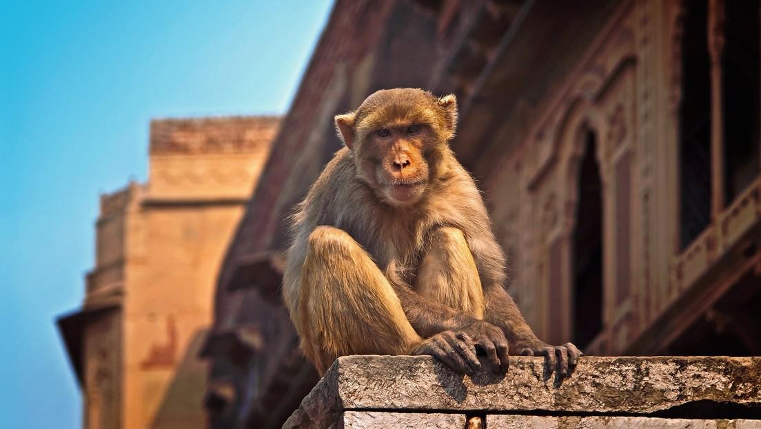 Un mono mata a un indio al lanzarle un ladrillo en la cabeza