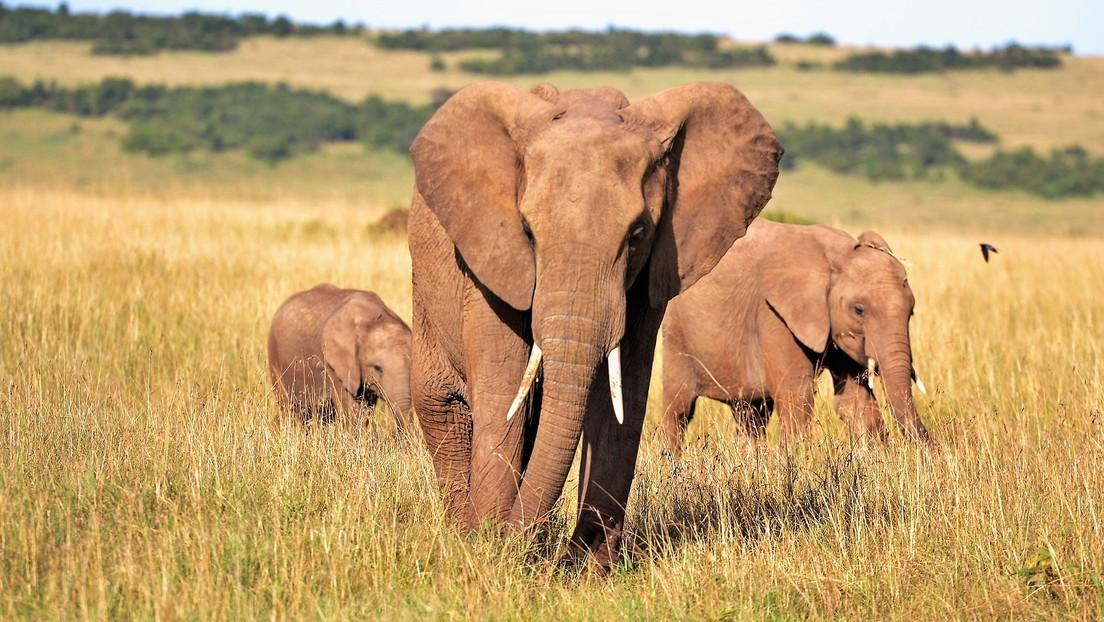 Nueva evidencia sugiere que la cacería furtiva ha causado que los elefantes evolucionen para no desarrollar colmillos