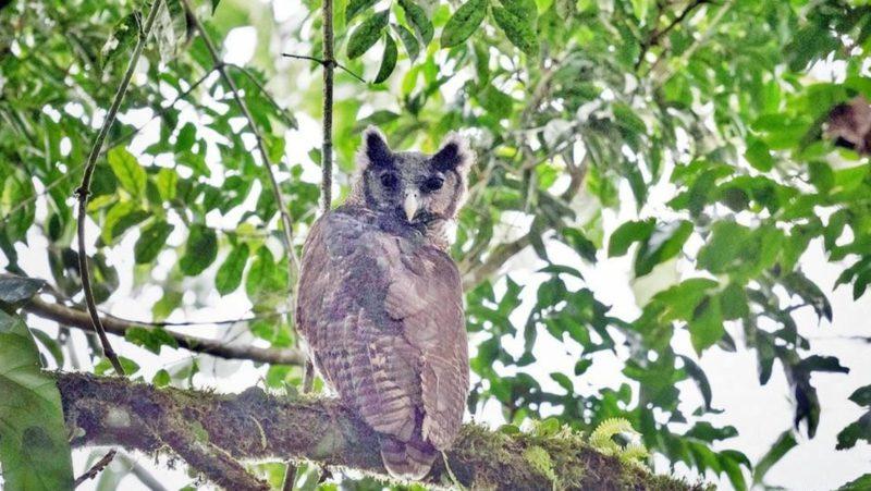 Captan por primera vez en 150 años en su hábitat natural a un búho gigante africano, especie en peligro de extinción