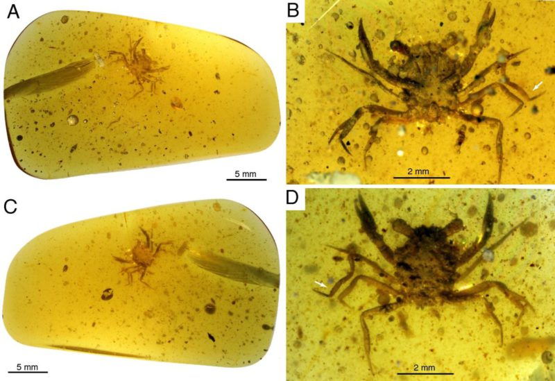 A crab in 100-million-year-old amber helps weave its evolution