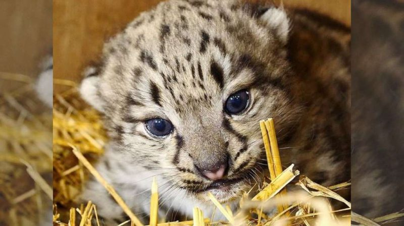 A miracle: snow leopards are in extinction, but a specimen was born in the United Kingdom